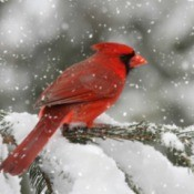 Northern Cardinal bird in a snow storm.