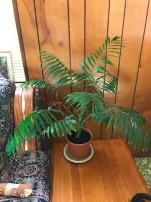 What Is This Houseplant? palm looking plant