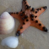 A starfish next to a shell on the beach.