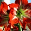An amaryllis in bloom outdoors.