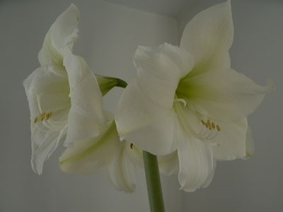A cream colored amaryllis blooming.