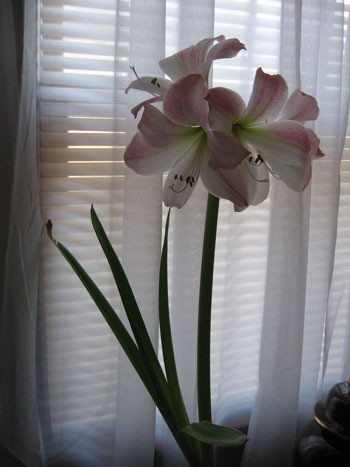 A light pink amaryllis in a window.