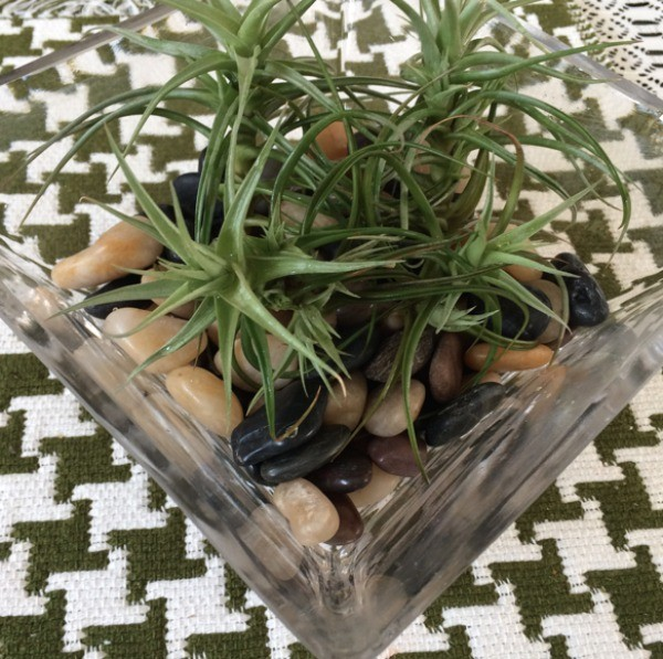 How to Maintain an Air Plant - plants sitting on rocks in glass dish