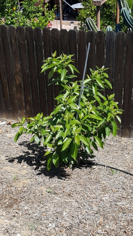 Avocado Tree Died Back to Below the Graft