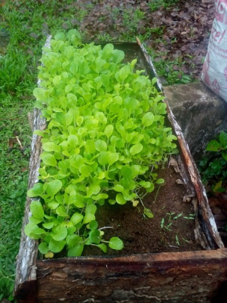 Growing Vegetable Seeds - seedlings in a long wooden planter