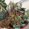 Succulent Plants Make Wonderful Gifts - dish of succulents