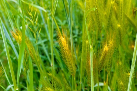 A bunch of foxtails in lawn.