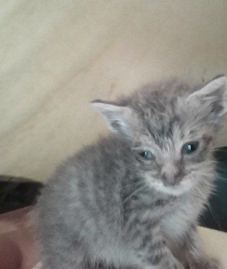 Treating a Kitten's Eye Discharge - fuzzy grey tabby kitten