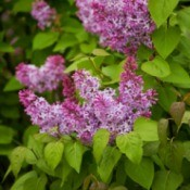 A lilac bush growing outside.