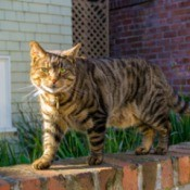 A cat walking on a brick wall in a backyard.