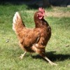 A proud hen strutting outside.