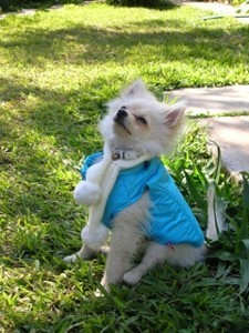 White Pomeranian wearing a vest and a scarf enjoy the outside.