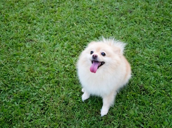 Housebreaking Problems with a Pomeranian | ThriftyFun