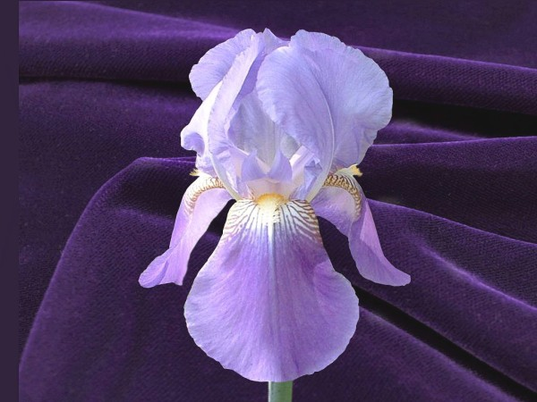 Fleur de lis (The Lily Flower) - light and darker purple iris against a royal purple background