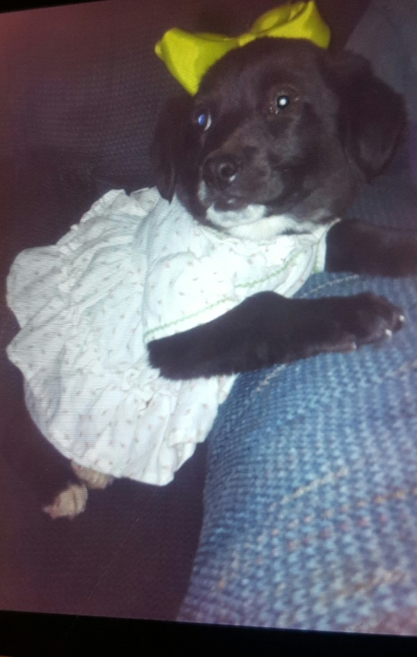 Kibbles (Black Lab) - black puppy in a dress wearing a bow