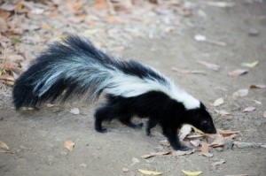 A skunk walking in a park.