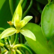 A vanilla plant with flowers and beans.