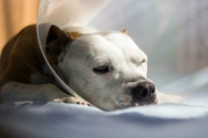 A dog sleeping, wearing a cone.
