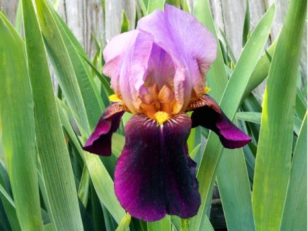 An Iris I Call 'Appreciation'