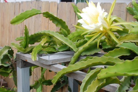 Dragon Fruit Flower (Hylocereus Undated) - bloom on top of trellis