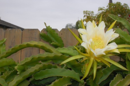 Dragon Fruit Flower (Hylocereus Undated) - bloom against a wooden fence