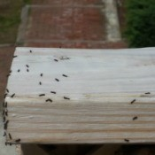 Identifying Small Caterpillars - tiny black caterpillars on a 2 x 4