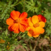 An orange cosmos flower growing in a garden.