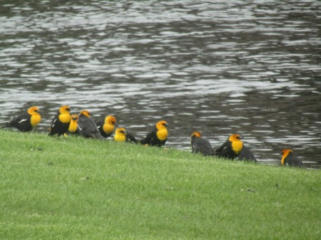 A row of black and yellow birds sitting on a river bank.