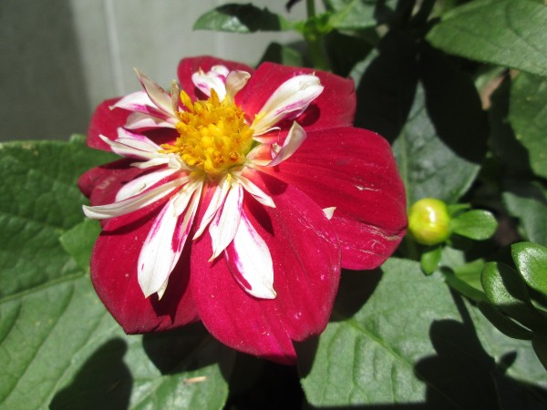 Starsister Dahlia - red flower with white on inner petals and bright yellow center