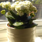 Identifying a Houseplant - white flowering potted plant