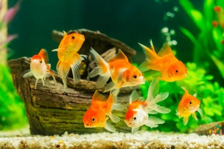 A tank of bright orange goldfish.