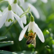 A snowdrop blossom with a bee.