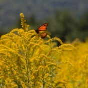A monarch butterfly on a goldenrod plant.