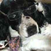 Brittney (English Springer Spaniel) - black and white spaniel wearing glasses