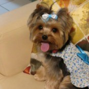Dog Won't Pee on Piddle Pad After Pooping - Yorkie wearing a bow in her hair