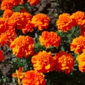 French marigolds growing in a garden.