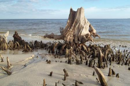 A ocean beach coastline with old weathered cypress stumps partly covered with sand.