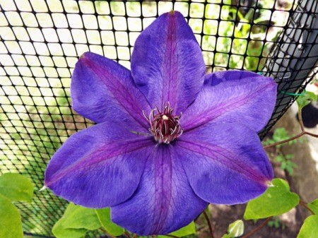 Clematis Elsa Spath - violet clematis with lighter purple stripes on petals