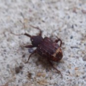 Bugs on back Porch - brown beetle type bug