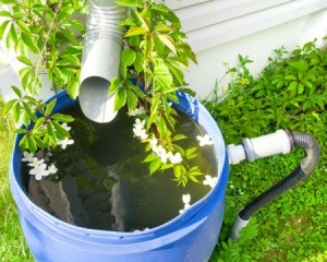Watering Barrel in front of DownSpout