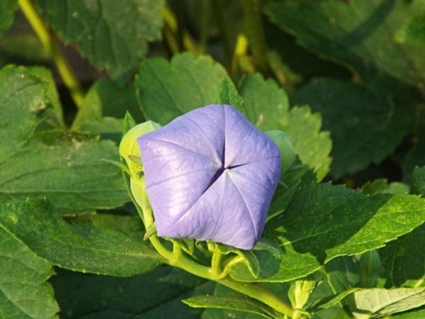 The Balloon Flower - closed flower