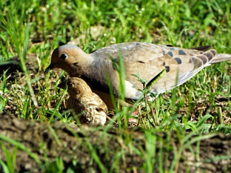 Birds In The Sun - mourning dove and house finch