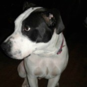 What Kind of Pit Bull Is My Dog? - black and white dog