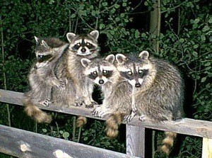 Four raccoons on a deck railing at night.