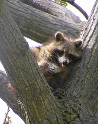 A young raccoon in a tree.