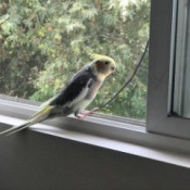 Baby Wipes for Cleaning Up After Pet Birds - bird on window sill