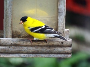 Goldfinch At Feeder - male finch
