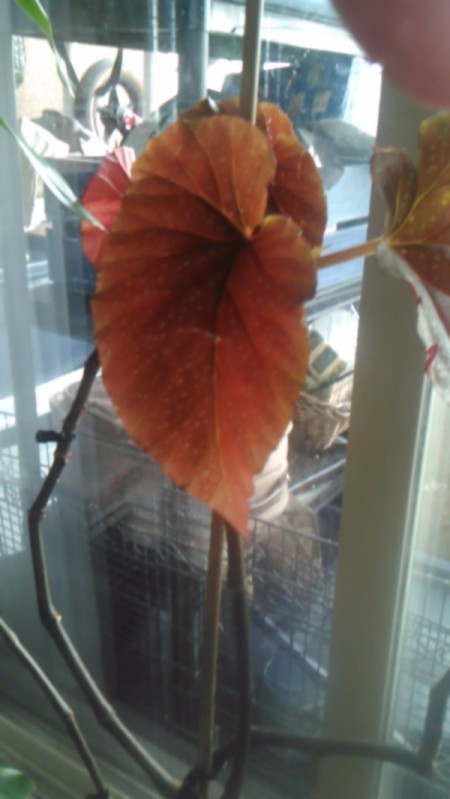 What Is This Houseplant? - orangish red leaf