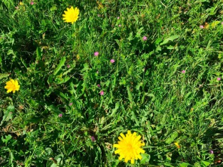 Flowering dandelions and other weeds in grass.