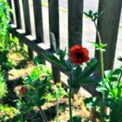 A geum plant in bloom, next to a picket fence.